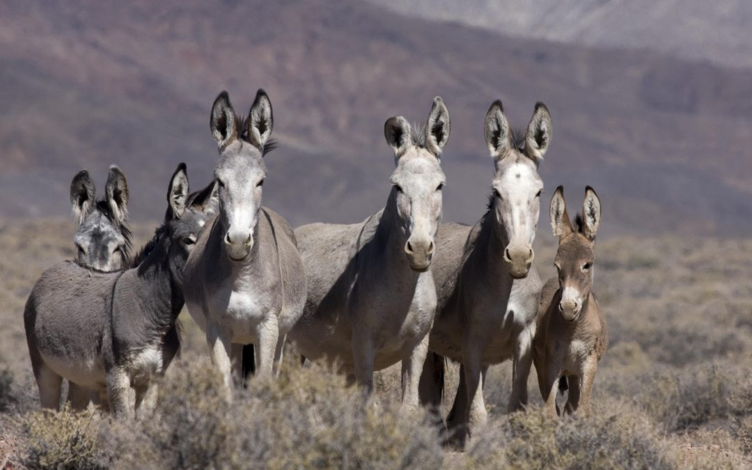 "LTE: ""Mayor Brady, We Have An Idea For The Burro Issue"""