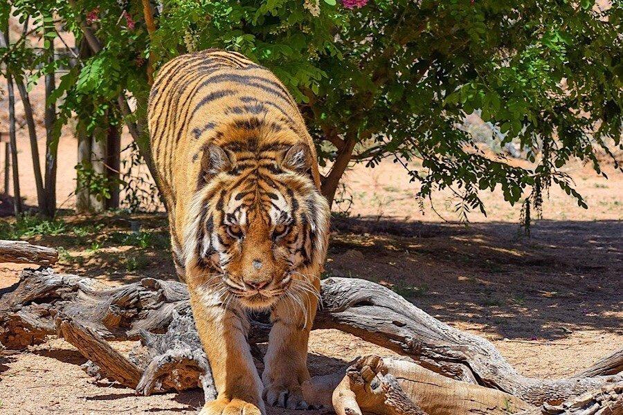 Update: Tiger Incident